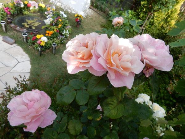 洋エリアのバラの花が満開になりました