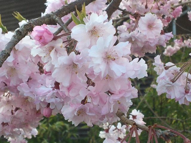 枝垂れ桜が満開となりました