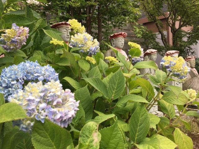紫陽花が咲きはじめました